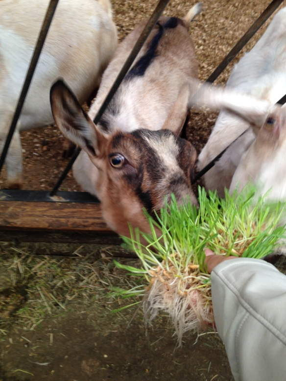 Feeding the goat organic sprouted grain.