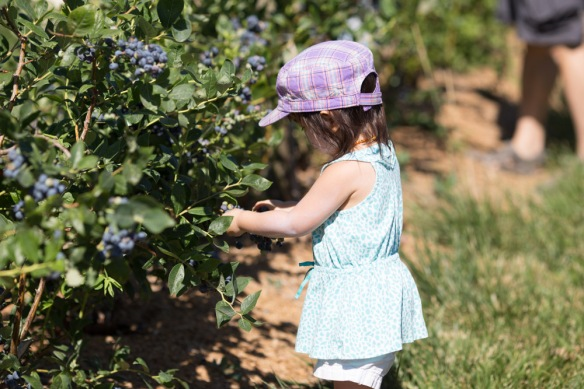 Berry picking-4