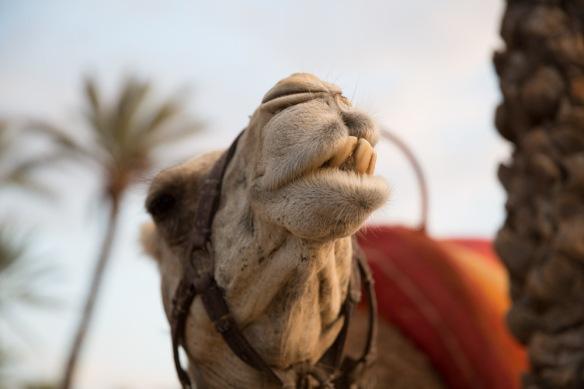Camel ride morocco-1-12