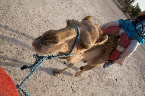 Camel ride morocco-1-5